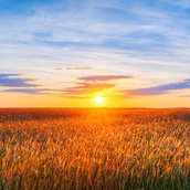 Eared wheat field wallpaper